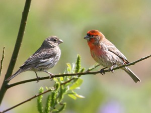 house-finch