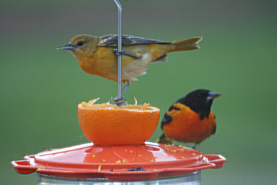 Baltimore or Northern Oriole pair