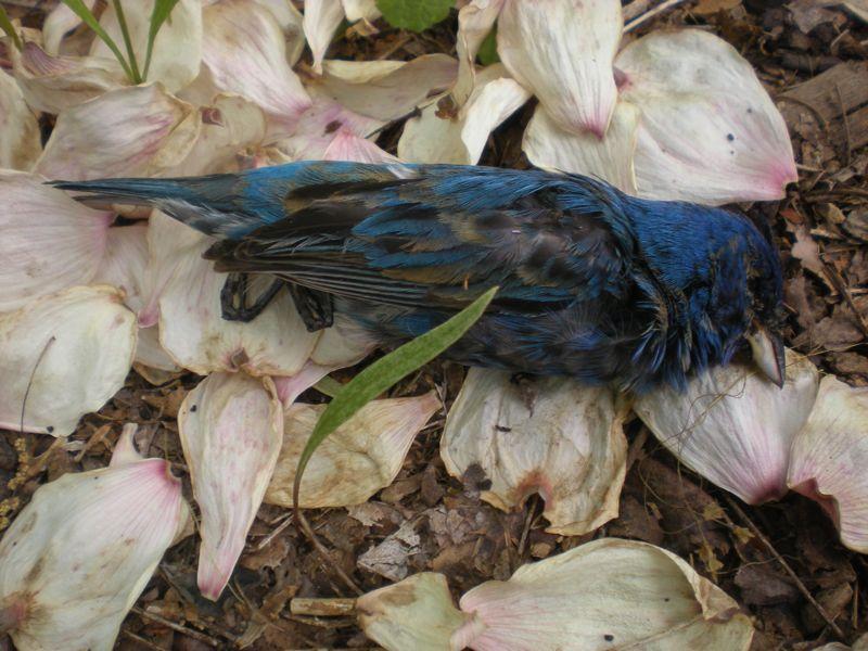 indigo bunting bird house