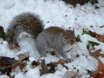 Grey_squirrel_in_snow