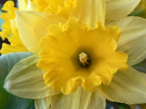 daffodil-macro-photo_w725_h544
