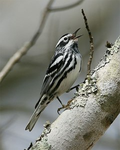 BW warbler