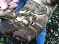 de kay's snake